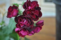 NOIR hängpelargon välrotad Home And Garden, Inspiration, Flowers, Plants, Black People, Lawn And Garden, Biblical Inspiration, Florals, Plant