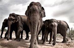 Daniela White, UK: A group of young very curious  wild Asian elephants