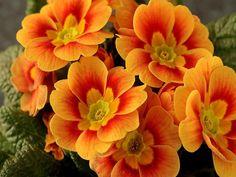 Oranje primula is een vaste plant die vroeg in het voorjaar bloeit. Liefst op een schaduwrijke plek.