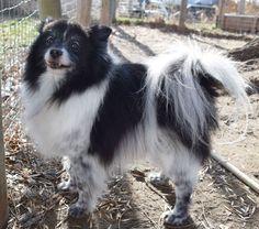 Pomeranian dog for Adoption in Prosser, WA. ADN-480019 on PuppyFinder.com Gender: Male. Age: Adult