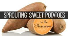 Sprout a sweet potato in your Preschool, Pre-K, or Kindergarten classroom. Kids can observe and record plant growth of the sweet potato sprouts. Science Experiments For Preschoolers, Preschool Science, Science For Kids, Kindergarten Lessons, Kindergarten Classroom, Classroom Activities, Classroom Ideas, Science Activities