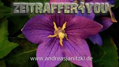 Ballonblume Platycodon grandiflorus Astra Timelapse Zeitraffer Blooming ...