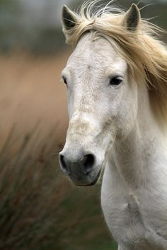 llbwwb:   For the horse lovers:) White horse of Camargue profile (by debbie_dicarlo)