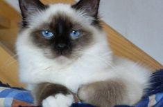 Mèo Briman – mèo thần Miến Điện giống mèo mang nhiều huyền bí