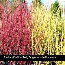 Red and Yellow Twig Dogwood can add bright color to a winter scene plus the branches could be used in holiday containers