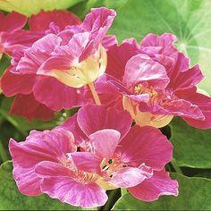 Nasturtium 'Whirlybird Cherry Rose'