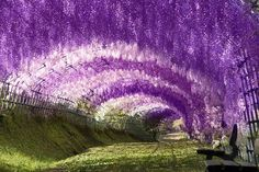 Wisteria Tunnel at Pinces Gardens, Exeter, UK