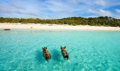 Discover the best Exuma Beaches with our guide to the Best Beaches in Exuma, some of which are the best Bahamas beach; From the Exuma Cays to Little Exuma Bahamas Resorts, Bahamas Beach, Sandals Emerald Bay, Places To Travel, Travel Destinations, Pig Beach, Newfoundland And Labrador, Paradise On Earth, Swimming Pigs
