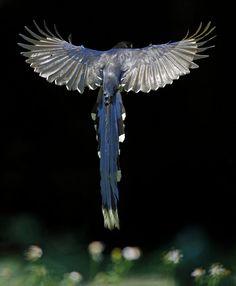 Taiwan Blue Magpie, taken at Xingyi Park, Taipei City, Taiwan.