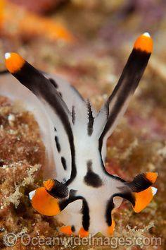 License high quality Stock Photo or order Print of Nudibranch Thecacera picta. Weird Sea Creatures, Beautiful Sea Creatures, Ocean Creatures, Cute Reptiles, Underwater Sea, Sea Snail, Sea Slug, Rare Animals, Beautiful Fish