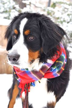 My Almost-one-year-old Bernese Mountain Dog, Beaumont wearing my plaid scarf, all ready for Christmas and the Holiday Season!