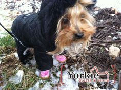 What's your opinion on boots for your Yorkie? #yorkie #yorkies