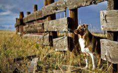 Perro Alambrada Pastor ovejero australiano Hierba Animalia