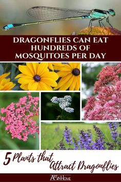 5 Plants that Attract Mosquito-Eating Dragonflies Dragonflies can eat hundreds of mosquitoes every day to help keep your backyard mosquito free. Here are 5 plants that attract dragonflies to your garden. Citronella, Mosquito Plants, Low Maintenance Garden Design, California Native Plants, Pond Plants, Hardy Plants, Dragonfly Art, Plant Art, Garden Care