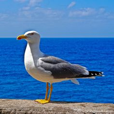 Seagull posing.
