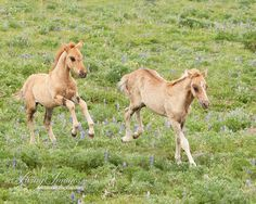 Two Wild Foals Romp, in the Pryor Mountains of Montana  www.LivingImagesCJW.com