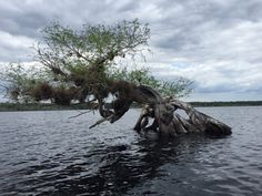 Cypress tree on Lake Norris