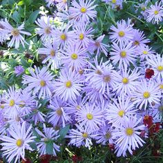Aster  Asters are one of the last plants to bloom in many gardens. Enjoy their red, purple, pink, white, or blue flowers in the garden or as long-lasting cut flowers. Plant Name: Aster selections Growing Conditions: Full sun and well-drained soil Size: To 5 feet tall and 3 feet wide Zones: 3-9, depending on type Plant it with: Goldenrod and mums are two perfect partners for blue asters.