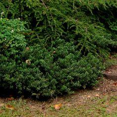 Paxistima canbyi nana - evergreen native to appalachia