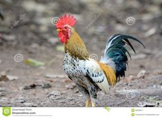 rooster photos - Yahoo Image Search Results