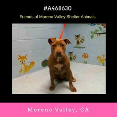 #A468630 (Moreno Valley CA) Female blu bridal and white Pit Bull Terrier mix. The shelter thinks I am about 1 year. I have been at the shelter since Nov 18 2016 and I may be available for adoption on Nov 29 2016 at 1:12PM.  http://ift.tt/2g3ZfCk  Moreno Valley Animal Shelter at (951) 413-3790 Ask for information about animal ID number A468630  #adoptdontshop #savealifeadopt #shelterdogs #dogsofinstgram #CA #morenovalley #savealifeadoptapet #fosteradog #southerncalifornia