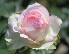 La Rose Optimiste. HT Rose. Rose pink with darker painted edges, medium to large full globular old fashion blooms, 3' - 4', fragrant. Gaujard, 2006.