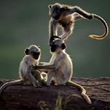 Langur Monkeys - Photo Gallery - Pictures, More From National Geographic Magazine
