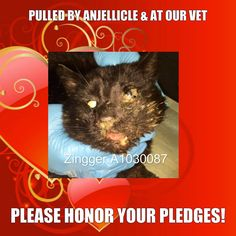 Anjellicle Cats Rescue, Inc. *  SUPER URGENT!! * Zingger A1030087 has been pulled by Anjellicle Cats Rescue and is receiving treatment at our vet's. Please honor your pledges at the following link and please contribute towards his emergency care. Thank you for your continued support! http://bit.ly/ZinggerA1030087 https://www.facebook.com/AnjellicleCatsRescueInc/photos/a.200520373306148.49411.200369229987929/964753730216138/?type=1