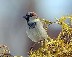 The house sparrows are arriving for the summer.  The American Tree Sparrows are leaving for parts farther north.