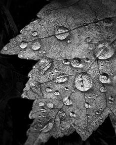 Rain Drops on an Autumn Leaf (PA172580)