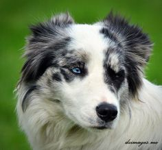 Just taking a rest, this collie dog was rescued from a little flat and is now part of a dog show where the dog heards ducks..