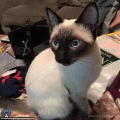 Siamese Cat Gallery - Cat's Nine Lives Cute Little Kittens, Cute Cats, Siamese Kittens, Cats And Kittens, I Love Cats, Crazy Cats, Beautiful Cats, Gorgeous Eyes, Tonkinese Cat