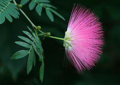 Calliandra surinamensis