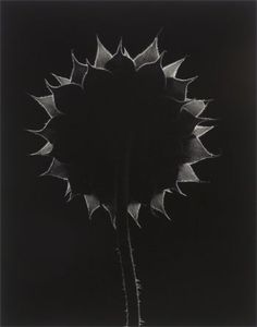 "Paul Caponigro ""Backlit Sunflower"""