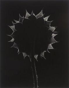 "Paul Caponigro ""Backlit Sunflower"""