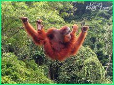 Hewan Langka Di Indonesia Cara Pelestarian Dan Suaka Margasatwanya Dunia Fauna Hewan Binatang Tumbuhan Orangutan Hewan Langka Orangutan Sumatera