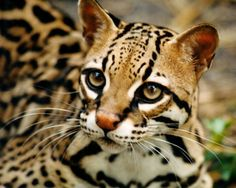 This gorgeous feline is an Ocelot <3 Ocelots are wild cats, and are not suitable as pets, though Salvador Dali was frequently seen with his who was called Babou.