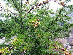 Τα κλαδιά από άγρια αχλαδιά (γκορτσιά )είναι το φάρμακο βότανο- δέντρο που θεραπεύει και τον προστάτη. ... Pyrus, Farmer, Nature, Plants, Blog, Health Recipes, Healthy Recipes, Naturaleza, Planters