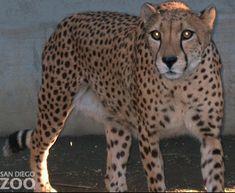 Prehistoric Cheetah Skull found in Asia