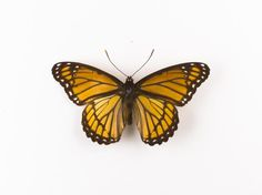 Limnetis archippus, viceroy butterfly, dried specimen
