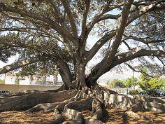 big old fig tree, Santa Barbara