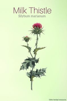 Milk Thistle (Silybum marianum) Mediterranean Europe and now coastal California   Liver problems, DM, ...