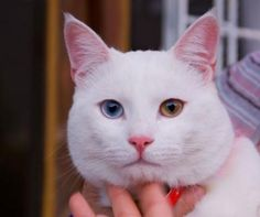 White cat with 2 different colored eyes