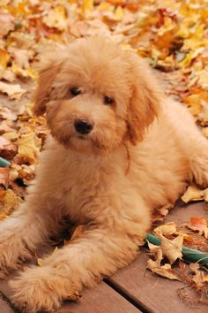 Australian labradoodle ...........click here to find out more http://googydog.com
