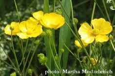 Ranunculus acris, Smörblomma,Scharfer Hahnenfuß,Boterbloem, Meadow buttercup, Tall buttercup