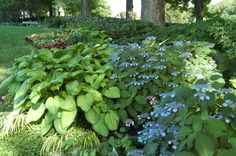 Yup, there are hostas that grow as big as hydrangeas!!
