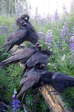 """thewildfreespirit: """" Raven Rendezvous - https://www.facebook.com """""""