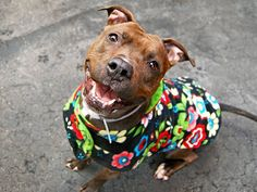 TO BE DESTROYED - 03/25/15 Manhattan Center -P My name is ALINGA. My Animal ID # is A1030697. I am a female br brindle and white pit bull mix. The shelter thinks I am about 3 YEARS old. I came in the shelter as a STRAY on 03/18/2015 from NY 10458, owner surrender reason stated was STRAY. https://www.facebook.com/photo.php?fbid=982549321757947