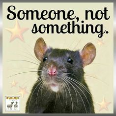 Reminds me of our little Ratty.  Such a cute and clever little critter.  Life was way too short!!