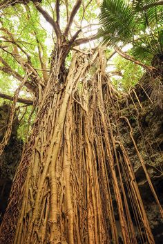 The Amazing Banyan Tree | Flickr - Photo Sharing! 2015 At the Valley of Gangala, Nanjo, Okinawa, Japan.